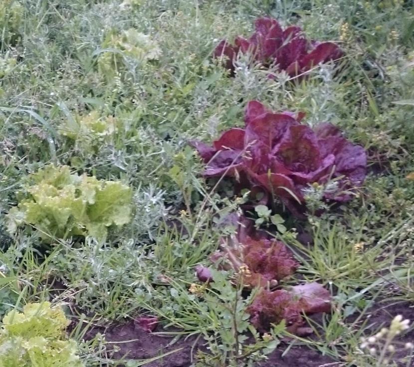 Salat-luking