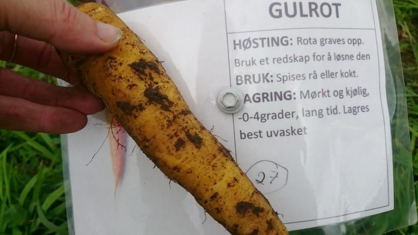 gulrot-gul